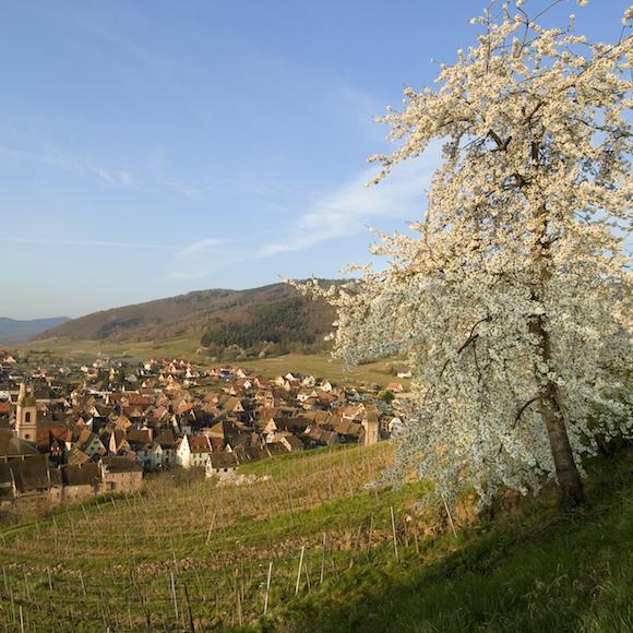À venir : Association des Viticulteurs d'Alsace